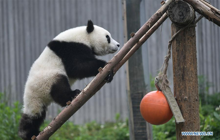 Photo taken on May 26, 2019 shows a baby giant panda at the \