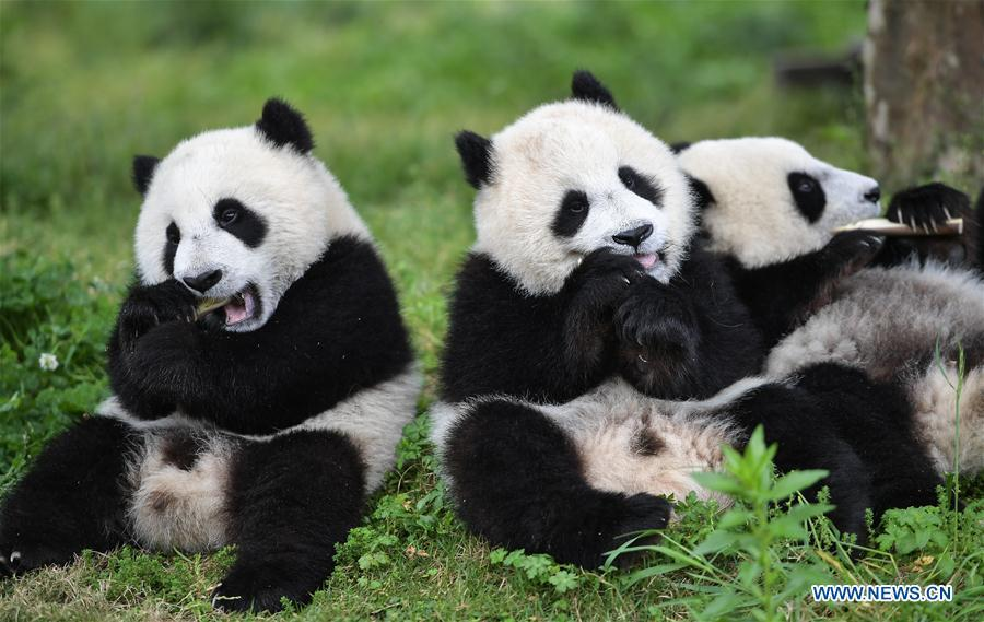 Photo taken on May 25, 2019 shows baby giant pandas at the \