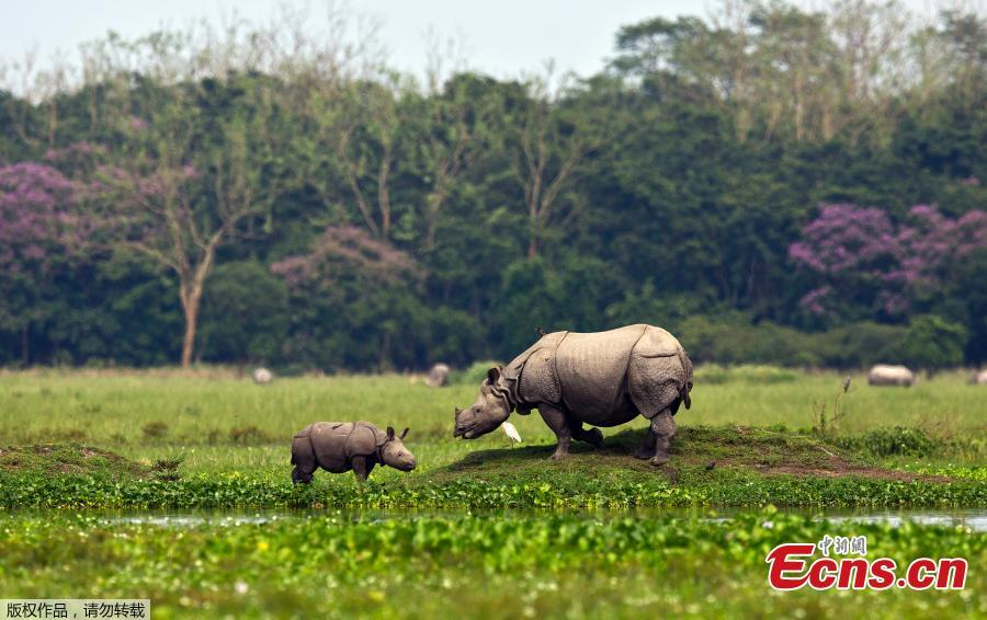 A one horned baby rhino grazing with its mother in the Pobitora wildlife sanctuary on the outskirts of Gauhati, India, Monday, May 27, 2019. The sanctuary has the highest density of the one-horned rhinoceros in the world. (Photo/Agencies)