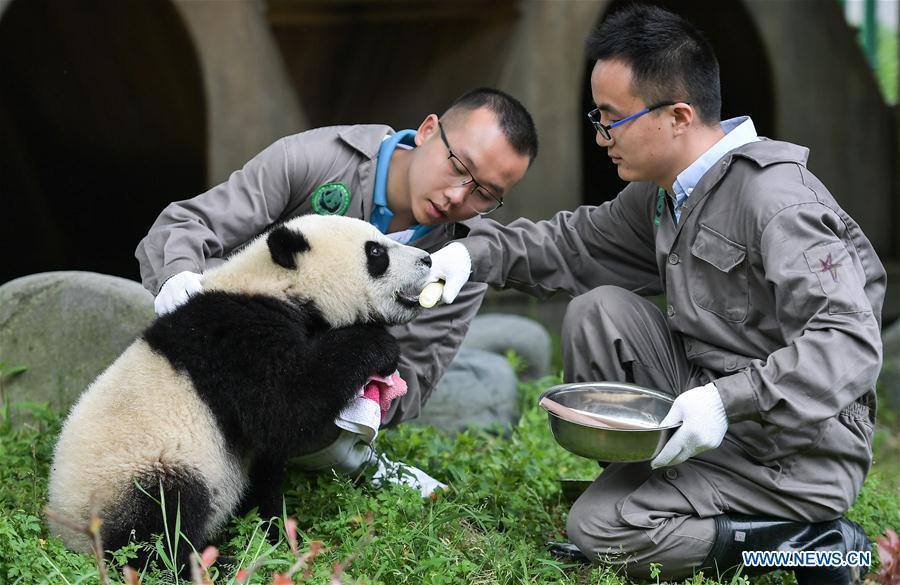 Breeders take care of a baby giant panda at the \