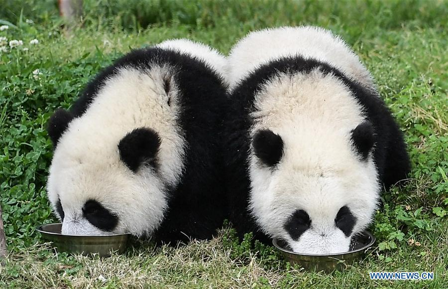 Photo taken on May 26, 2019 shows baby giant pandas at the \