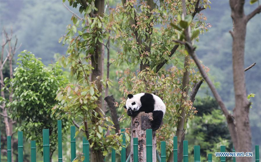 Photo taken on May 25, 2019 shows a baby giant panda at the \