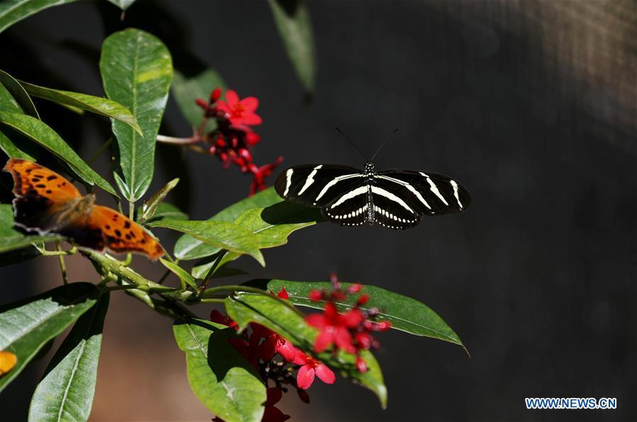 Butterflies rest on leaves at the Butterfly Pavilion of the Natural History Museum of Los Angeles County in Los Angeles, the United States, May 27, 2019. The butterfly exhibition at the Natural History Museum of Los Angeles County showcases hundreds of butterflies and the plants that surround them. (Xinhua/Li Ying)