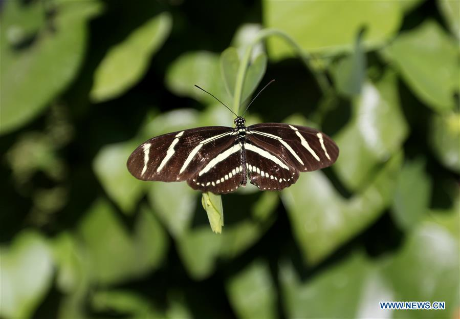 A butterfly rests on leaves at the Butterfly Pavilion of the Natural History Museum of Los Angeles County in Los Angeles, the United States, May 27, 2019. The butterfly exhibition at the Natural History Museum of Los Angeles County showcases hundreds of butterflies and the plants that surround them. (Xinhua/Li Ying)