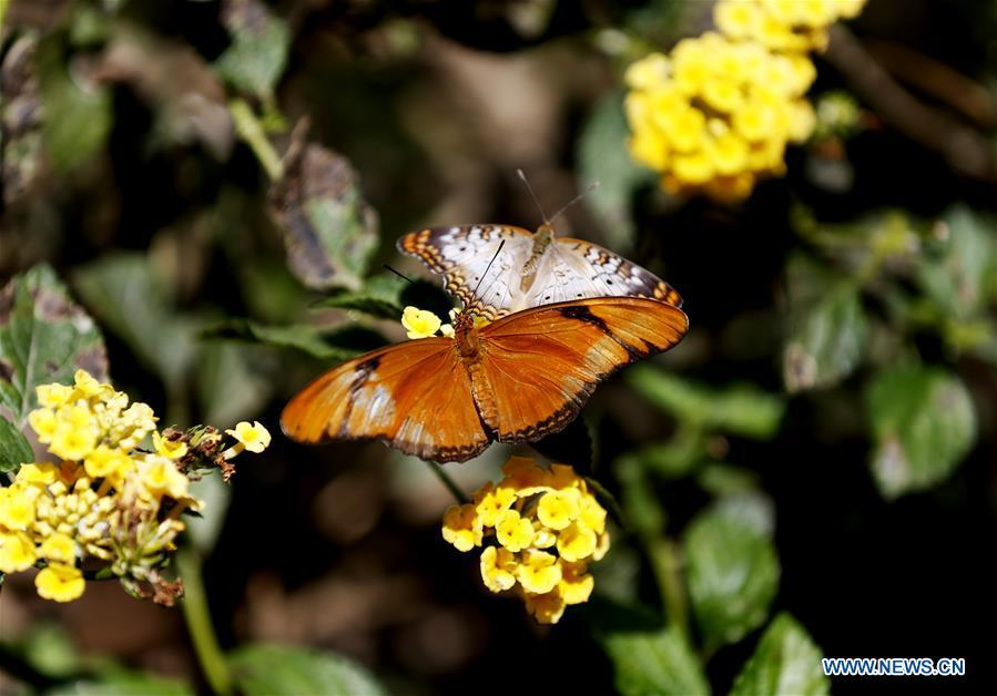 Butterflies rest on flowers at the Butterfly Pavilion of the Natural History Museum of Los Angeles County in Los Angeles, the United States, May 27, 2019. The butterfly exhibition at the Natural History Museum of Los Angeles County showcases hundreds of butterflies and the plants that surround them. (Xinhua/Li Ying)