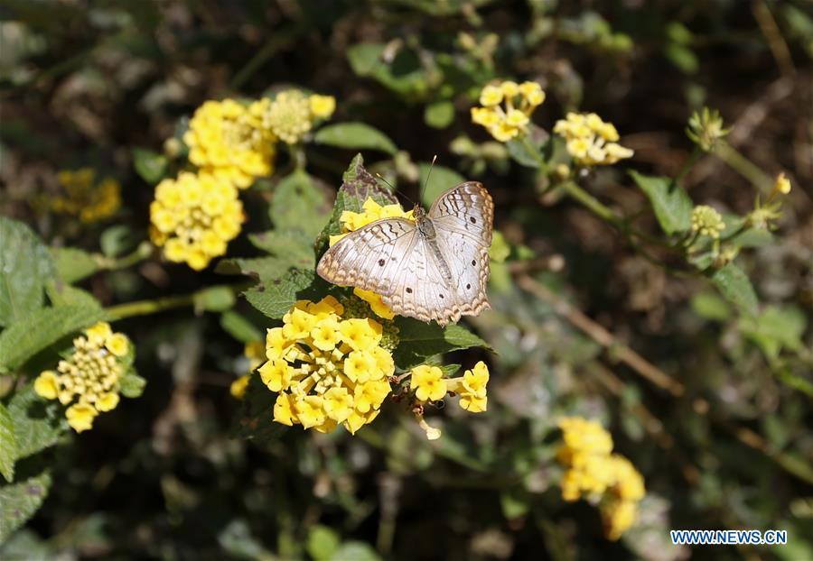 A butterfly is seen among flowers at the Butterfly Pavilion of the Natural History Museum of Los Angeles County in Los Angeles, the United States, May 27, 2019. The butterfly exhibition at the Natural History Museum of Los Angeles County showcases hundreds of butterflies and the plants that surround them. (Xinhua/Li Ying)
