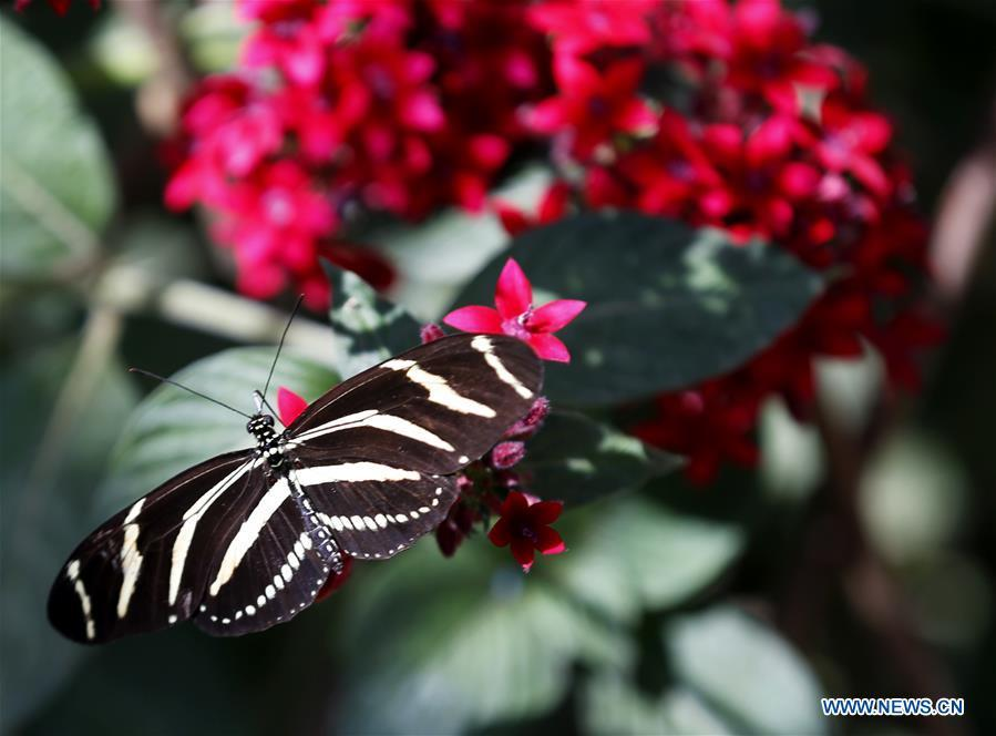 A butterfly rests on flowers at the Butterfly Pavilion of the Natural History Museum of Los Angeles County in Los Angeles, the United States, May 27, 2019. The butterfly exhibition at the Natural History Museum of Los Angeles County showcases hundreds of butterflies and the plants that surround them. (Xinhua/Li Ying)