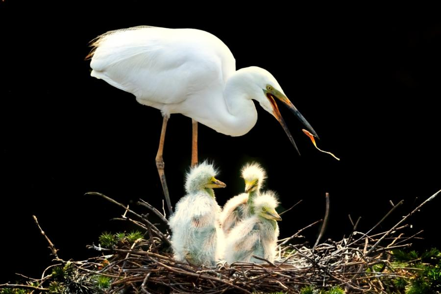 Egrets are seen in Xiangshan Forest Park in Nanchang city, Jiangxi Province, in May 2019. (Photo by Xu Nanping/for chinadaily.com.cn)