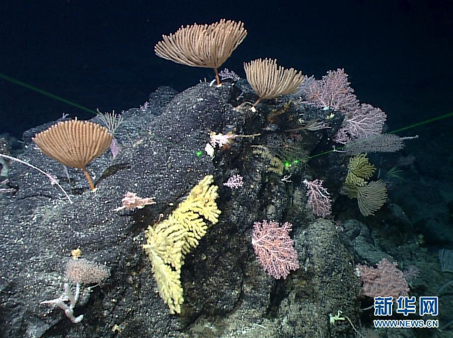 The photo taken on May 29, 2019 shows a sponge and coral garden shot by China\'s remote operated vehicle (ROV), Discovery, in the sea bottom of western Pacific Ocean. (Photo/Xinhua)