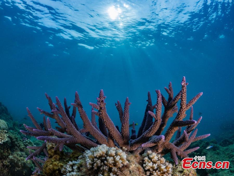 A photograph of coral underwater at the Wuzhizhou Island scenic spot as captured by photographer Zhou Jiajun during a four-day photo contest in Sanya City, Hainan Province. (Photo/China News Service)
