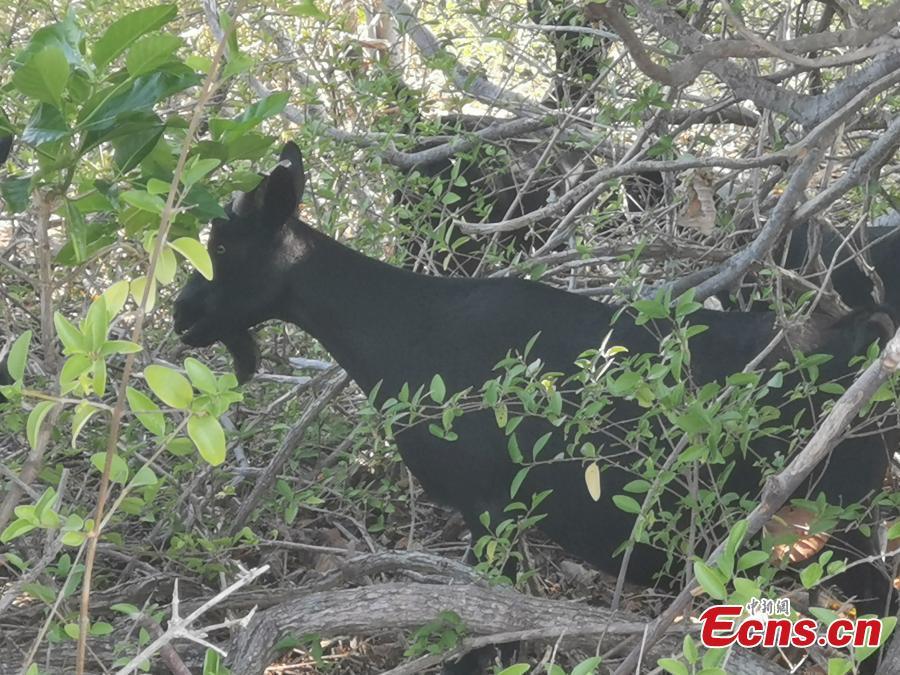 A goat on Ganquan Island in the Xisha Yongle Islands group in South China\'s Hainan Province, May 22, 2019. (Photo: China News Service/Yang Xu)