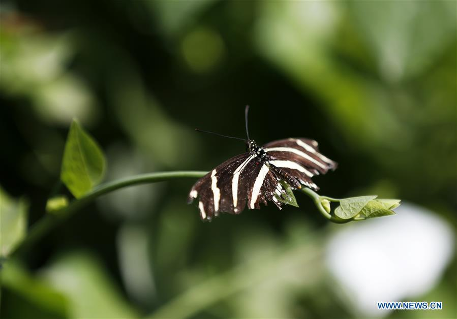 A butterfly is seen on leaves at the Butterfly Pavilion of the Natural History Museum of Los Angeles County in Los Angeles, the United States, May 27, 2019. The butterfly exhibition at the Natural History Museum of Los Angeles County showcases hundreds of butterflies and the plants that surround them. (Xinhua/Li Ying)