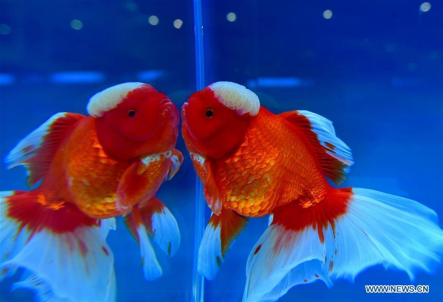 Photo taken on May 29, 2019 shows the goldfish during the 2nd international goldfish competition in Fuzhou, capital of southeast China\'s Fujian Province. (Xinhua/Wei Peiquan)