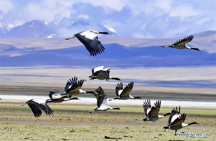 Black-necked cranes fly over the in Doqen Co (Lake) Yadong County, southwest China\'s Tibet Autonomous Region, May 29, 2019. (Xinhua/Zhang Rufeng)