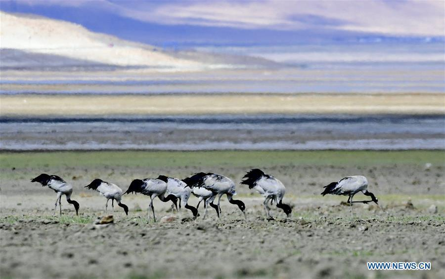Black-necked cranes forage on the Doqen Co (Lake) in Yadong County, southwest China\'s Tibet Autonomous Region, May 29, 2019. (Xinhua/Zhang Rufeng)