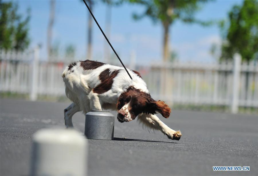 A police dog is trained in a drill in Harbin, northeast China\'s Heilongjiang Province, May 30, 2019. (Xinhua/Liu Song)
