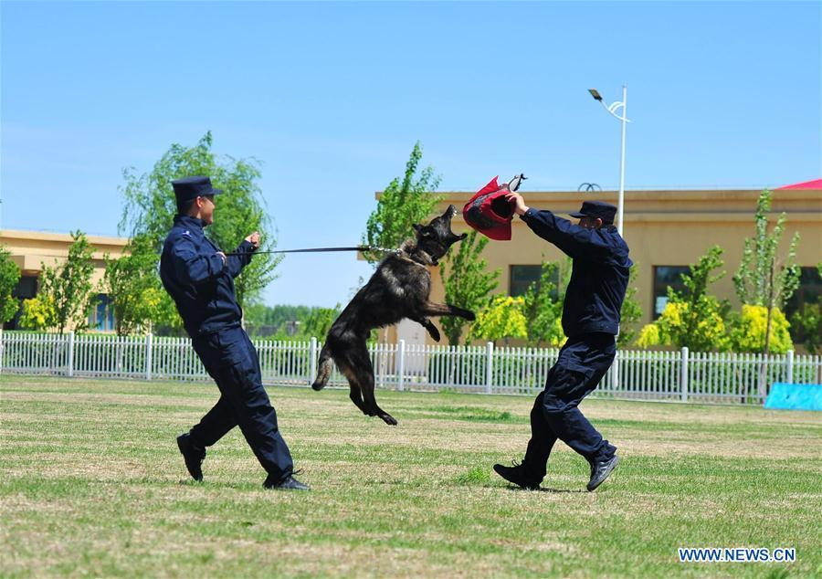 A police dog jumps in a drill in Harbin, northeast China\'s Heilongjiang Province, May 30, 2019. (Xinhua/Liu Song)