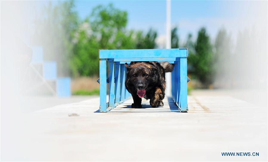 A police dog acts in a drill in Harbin, northeast China\'s Heilongjiang Province, May 30, 2019. (Xinhua/Liu Song)