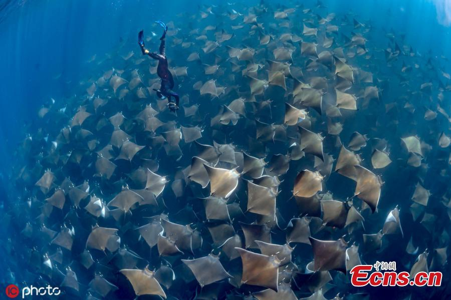Dive instructor Jay Clue was lucky to find one of the largest-ever schools of manta rays migrating off the coast of Baja California Sur, Mexico. The harmless rays allowed divers to swim above them. (Photo/ICphoto)