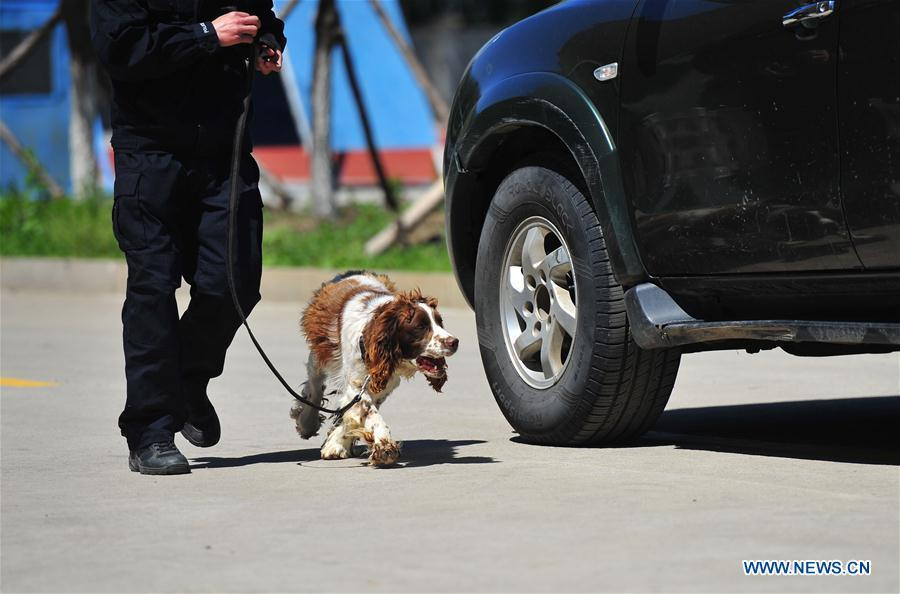 A police dog sniffs in a drill in Harbin, northeast China\'s Heilongjiang Province, May 30, 2019. (Xinhua/Liu Song)