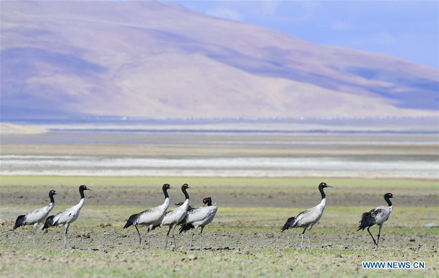 Black-necked cranes rest on the Doqen Co (Lake) in Yadong County, southwest China\'s Tibet Autonomous Region, May 29, 2019. (Xinhua/Zhang Rufeng)