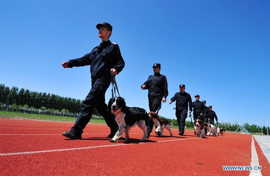 Police dogs and trainers are seen in a drill in Harbin, northeast China\'s Heilongjiang Province, May 30, 2019. (Xinhua/Liu Song)