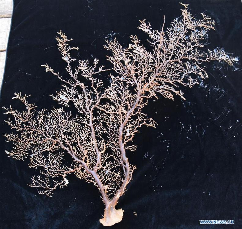 Photo taken on May 30, 2019 shows the coral collected by Discovery, a remote operated vehicle (ROV) aboard China\'s research vessel KEXUE (Science), in western Pacific Ocean in a recent dive. KEXUE is carrying out a 20-day long investigation over a series of seamounts in the south of the Mariana Trench in the western Pacific Ocean. (Xinhua/Zhang Xudong)