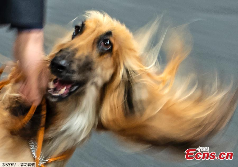 In this picture taken with a long time exposure an Afghane dog runs in the ring during the International pedigree dog and purebred cat exhibition in Erfurt, Germany, Sunday, June 2, 2019. More than 3,600 dogs and around 160 cats with their owners and 49 breed judges from 15 different countries take part at the exhibition and the competitions during this weekend. (Photo/Agencies)