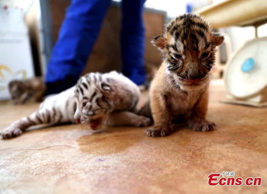 A Bengal tiger has given birth to four cubs including a genetic mutant white tiger in the Shendiaoshan Wildlife Park in Rongcheng City, East China's Shandong Province. The tiger cubs are in good health and now living on milk powder. (Photo: China News Service/Lin Haizhen)