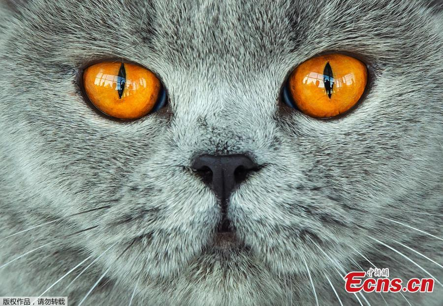 A British Shorthair cat waits during the jury session at the International pedigree dog and purebred cat exhibition in Erfurt, Germany, Sunday, June 2, 2019. More than 3,600 dogs and around 160 cats with their owners and 49 breed judges from 15 different countries take part at the exhibition and the competitions during this weekend. (Photo/Agencies)