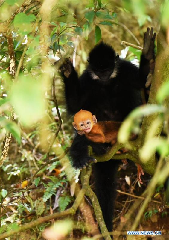 A Francois\' langur is seen with its baby in the Mayanghe National Nature Reserve in Guizhou Province, southwest China, June 4, 2019. Thanks to a series of protective measures, the number of Francois\' langurs in the Mayanghe National Nature Reserve has been increasing in recent years. According to latest official statistics, there are currently more than 550 Francois\' langurs in the nature reserve. Also known as Francois\' leaf monkeys, the species is one of China\'s most endangered wild animals and is under top national-level protection. It is also one of the endangered species on the International Union for Conservation of Nature red list. The species are found in China\'s Guangxi, Guizhou and Chongqing. (Xinhua/Yang Wenbin)