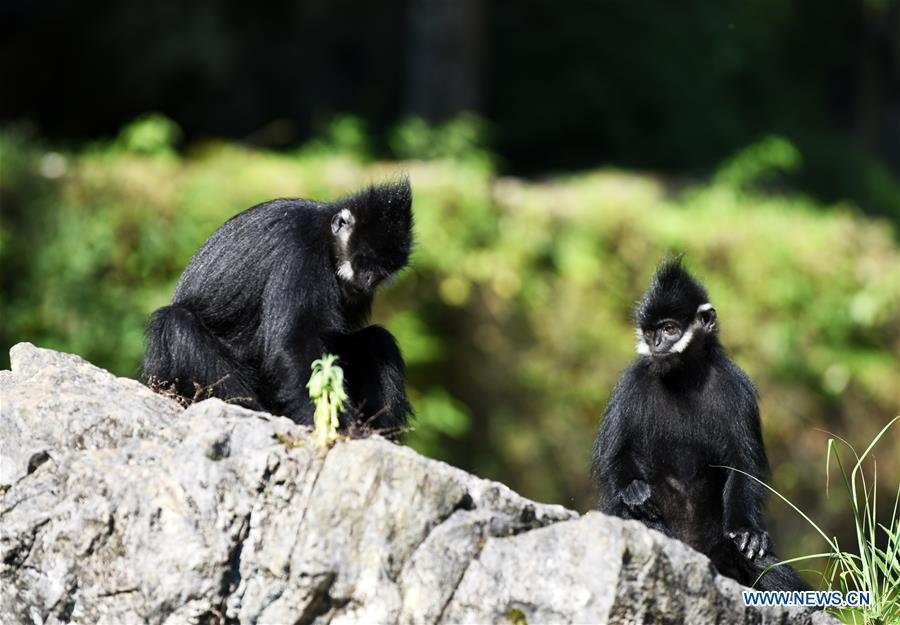 Francois\' langurs are seen in the Mayanghe National Nature Reserve in Guizhou Province, southwest China, June 4, 2019. Thanks to a series of protective measures, the number of Francois\' langurs in the Mayanghe National Nature Reserve has been increasing in recent years. According to latest official statistics, there are currently more than 550 Francois\' langurs in the nature reserve. Also known as Francois\' leaf monkeys, the species is one of China\'s most endangered wild animals and is under top national-level protection. It is also one of the endangered species on the International Union for Conservation of Nature red list. The species are found in China\'s Guangxi, Guizhou and Chongqing. (Xinhua/Yang Wenbin)