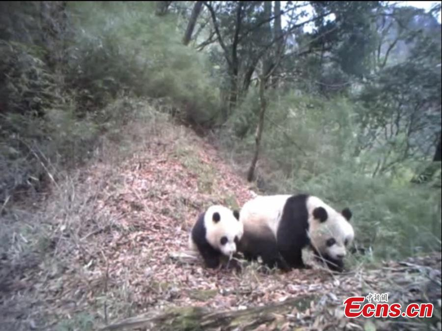 A still image taken from infrared camera footage shows a giant panda and its one-year-old cub in Baishuijiang National Nature Reserve, home to a large number of wild pandas in Gansu Province. The footage shows the cub playing with its mother, at times cuddling her in the manner of a human toddler. (Photo provided to China News Service)
