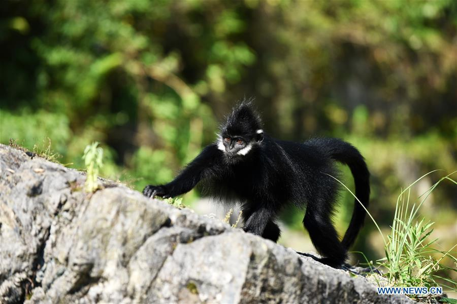A Francois\' langur is seen in the Mayanghe National Nature Reserve in Guizhou Province, southwest China, June 4, 2019. Thanks to a series of protective measures, the number of Francois\' langurs in the Mayanghe National Nature Reserve has been increasing in recent years. According to latest official statistics, there are currently more than 550 Francois\' langurs in the nature reserve. Also known as Francois\' leaf monkeys, the species is one of China\'s most endangered wild animals and is under top national-level protection. It is also one of the endangered species on the International Union for Conservation of Nature red list. The species are found in China\'s Guangxi, Guizhou and Chongqing. (Xinhua/Yang Wenbin)