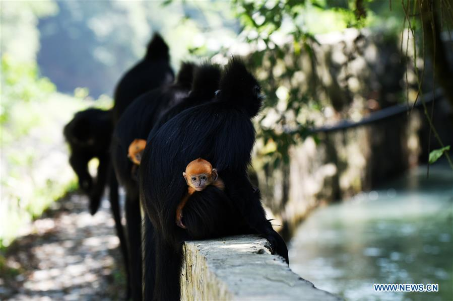 Francois\' langurs are seen with their babies in the Mayanghe National Nature Reserve in Guizhou Province, southwest China, June 4, 2019. Thanks to a series of protective measures, the number of Francois\' langurs in the Mayanghe National Nature Reserve has been increasing in recent years. According to latest official statistics, there are currently more than 550 Francois\' langurs in the nature reserve. Also known as Francois\' leaf monkeys, the species is one of China\'s most endangered wild animals and is under top national-level protection. It is also one of the endangered species on the International Union for Conservation of Nature red list. The species are found in China\'s Guangxi, Guizhou and Chongqing. (Xinhua/Yang Wenbin)