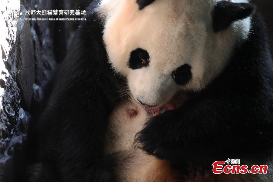 A captive-bred giant panda gave birth to the first cub of the year in Chengdu, capital of southwest China\'s Sichuan Province. The female cub, weighing 166.8 grams was born at 1:22 a.m. on June 5,2019 at Chengdu Research Base of Giant Panda Breeding. It is the world\'s first captive-bred panda born in 2019.(Photo provided to China News Service)