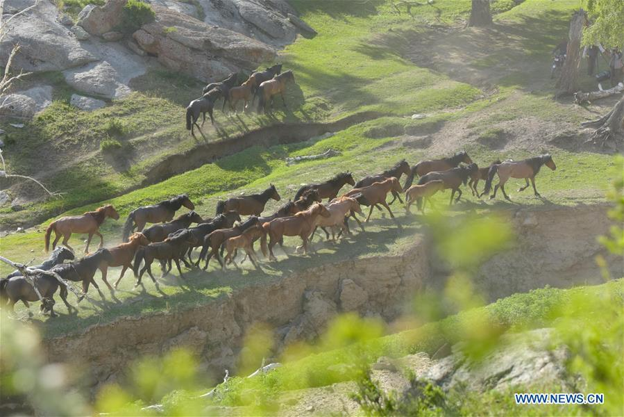 Horses are seen in a trip for summer pasture, northwest China\'s Xinjiang Uygur Autonomous Region, on June 6, 2019. As summer comes, herdsmen of Kazak ethnic group here are busy with transferring livestock to summer pastures. (Xinhua/Ding Lei)