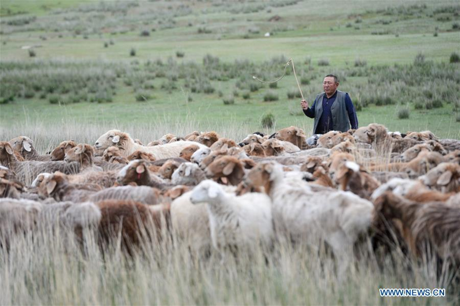 A herdsman herds sheep in Fuhai County of Altay, northwest China\'s Xinjiang Uygur Autonomous Region, on June 7, 2019. As summer comes, herdsmen of Kazak ethnic group here are busy with transferring livestock to summer pastures. (Xinhua/Ding Lei)
