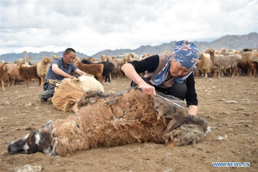 Herdsmen shear sheep in the summer pasture, northwest China\'s Xinjiang Uygur Autonomous Region, on June 7, 2019. As summer comes, herdsmen of Kazak ethnic group here are busy with transferring livestock to summer pastures. (Xinhua/Ding Lei)