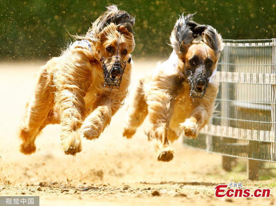 Dogs compete during an annual international dog race in Gelsenkirchen, Germany on June 9, 2019. (Photo/VCG)