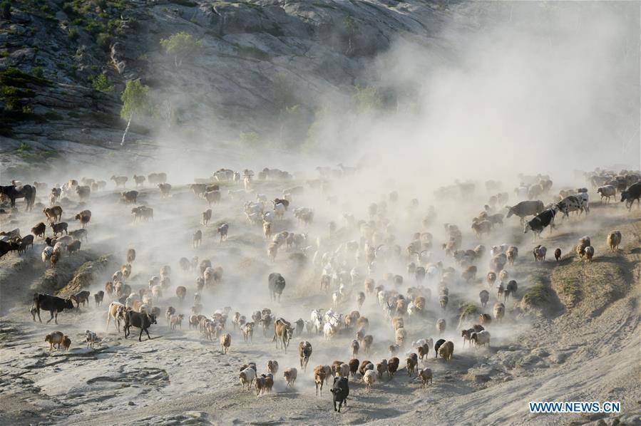 A flock of livestock are seen in a trip for summer pasture, northwest China\'s Xinjiang Uygur Autonomous Region, on June 6, 2019. As summer comes, herdsmen of Kazak ethnic group here are busy with transferring livestock to summer pastures. (Xinhua/Ding Lei)