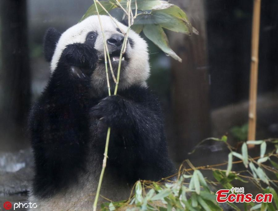 Xiang Xiang, a giant panda born at Tokyo\'s Ueno Zoo in 2017, was displayed to the media on June 10 ahead of her second birthday on June 12, 2019. Xiang Xiang, on loan from China, was due to be returned there when she turned 2, but the Tokyo metropolitan government was able to extend her stay until the end of December 2020. (Photo/IC)