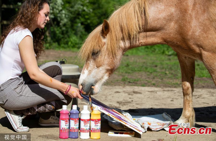 In the photo released on June 9, 2019, Oxford Brookes University student Elodie Poncin tries to teach her 12-year-old pony Teddy to paint. Poncin, 18, is studying art and design at the UK university and wants her last exhibition to stand out from the crowd.(Photo/VCG)