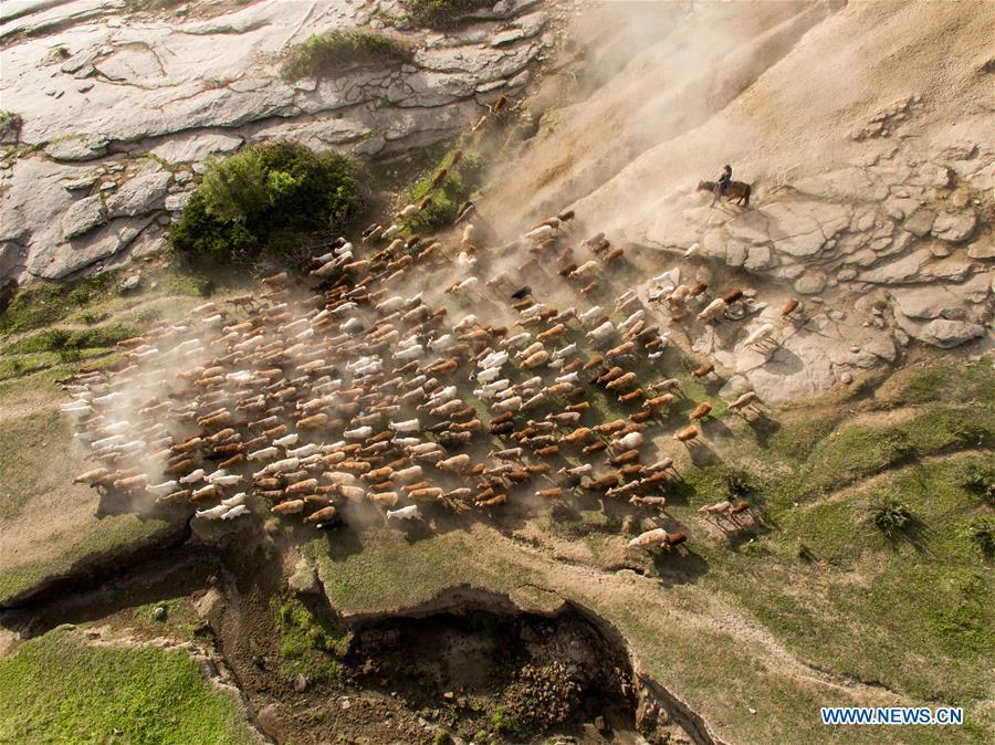 Aerial photo shows a herdsman driving the livestock in a trip for summer pasture in Fuhai County of Altay, northwest China\'s Xinjiang Uygur Autonomous Region, on June 6, 2019. As summer comes, herdsmen of Kazak ethnic group here are busy with transferring livestock to summer pastures. (Xinhua/Ding Lei)