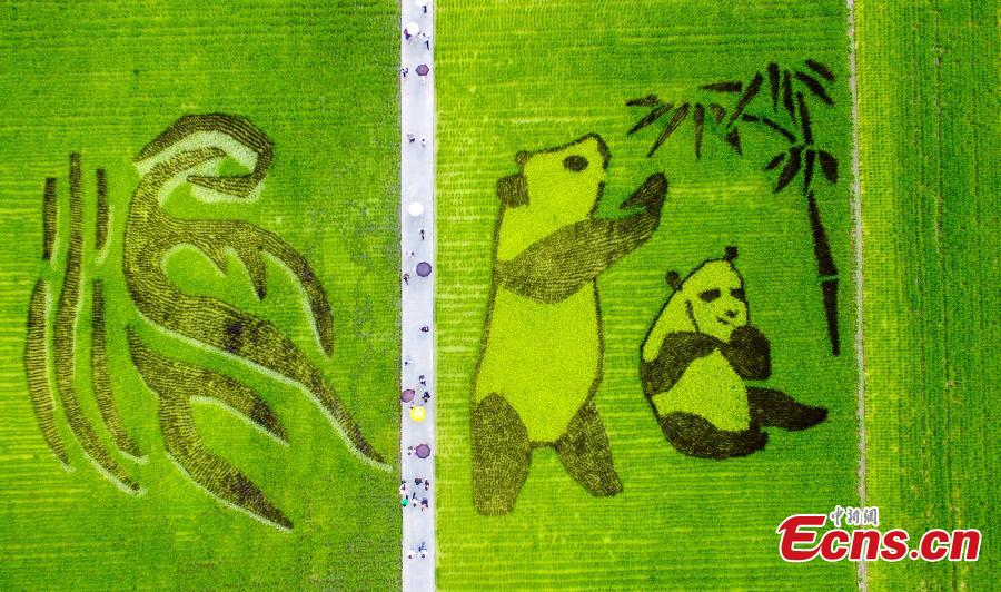 An aerial view of patterns featuring giant pandas, the local specialty garlic and Chinese characters in a rice paddy field in Wenjiang District, Chengdu City, Sichuan Province, June 10, 2019. (Photo: China News Service/Lyu Jia)