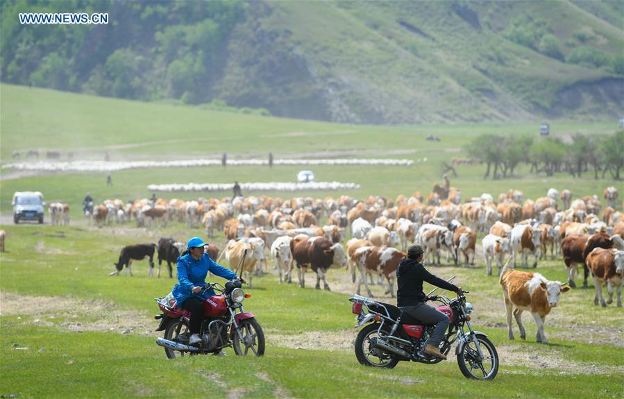 A family herd livestock to the summer camp during the nomadic migration on the Ar Horqin grassland in Chifeng City, north China\'s Inner Mongolia Autonomous Region, June 1, 2019. Yearly nomadic grazing is still a tradition for people live on the Ar Horqin grassland, where was listed of National Important Agricultural Heritage Systems in 2014. For a long time, herdsmen would decide the route and time of yearly nomadic grazing according to the growth of grassland. (Xinhua/Peng Yuan)