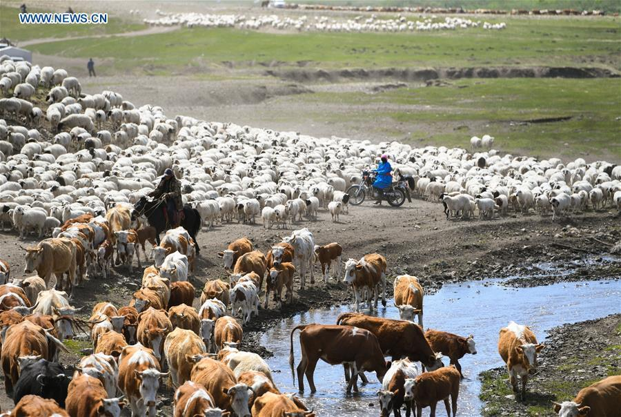 The livestock rest during the nomadic migration on the Ar Horqin grassland in Chifeng City, north China\'s Inner Mongolia Autonomous Region, June 1, 2019. Yearly nomadic grazing is still a tradition for people live on the Ar Horqin grassland, where was listed of National Important Agricultural Heritage Systems in 2014. For a long time, herdsmen would decide the route and time of yearly nomadic grazing according to the growth of grassland. (Xinhua/Peng Yuan)
