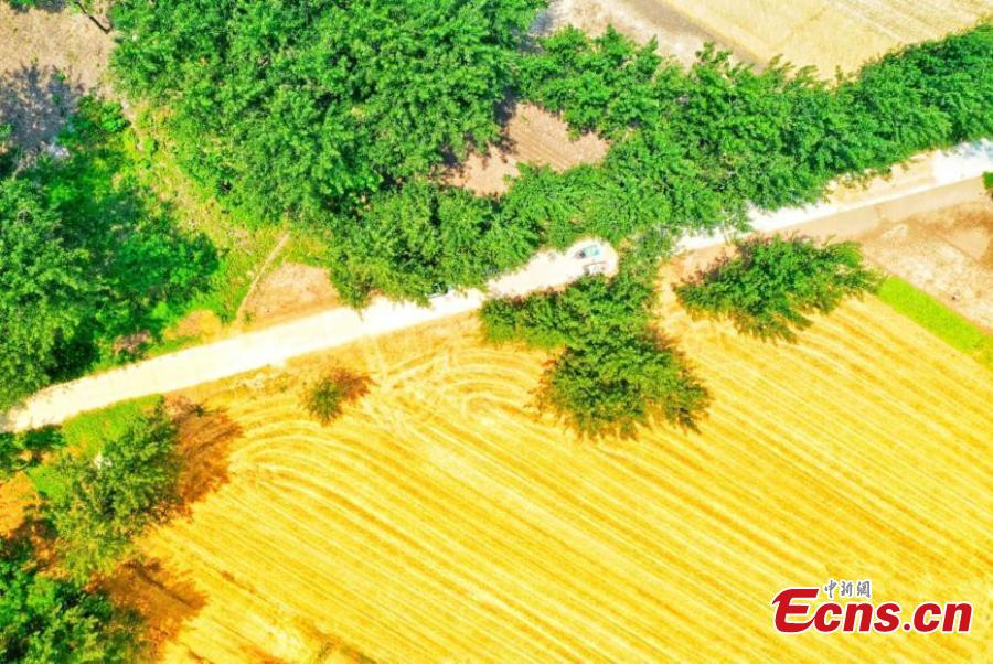 Drone photo shows wheat fields in northern Anhui province as the area enters harvest season. (Photo: China News Service/Chen Jie)