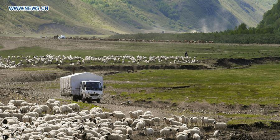 The nomadic family drives to herd livestock to the summer camp on the Ar Horqin grassland in Chifeng City, north China\'s Inner Mongolia Autonomous Region, June 1, 2019. Yearly nomadic grazing is still a tradition for people live on the Ar Horqin grassland, where was listed of National Important Agricultural Heritage Systems in 2014. For a long time, herdsmen would decide the route and time of yearly nomadic grazing according to the growth of grassland. (Xinhua/Peng Yuan)