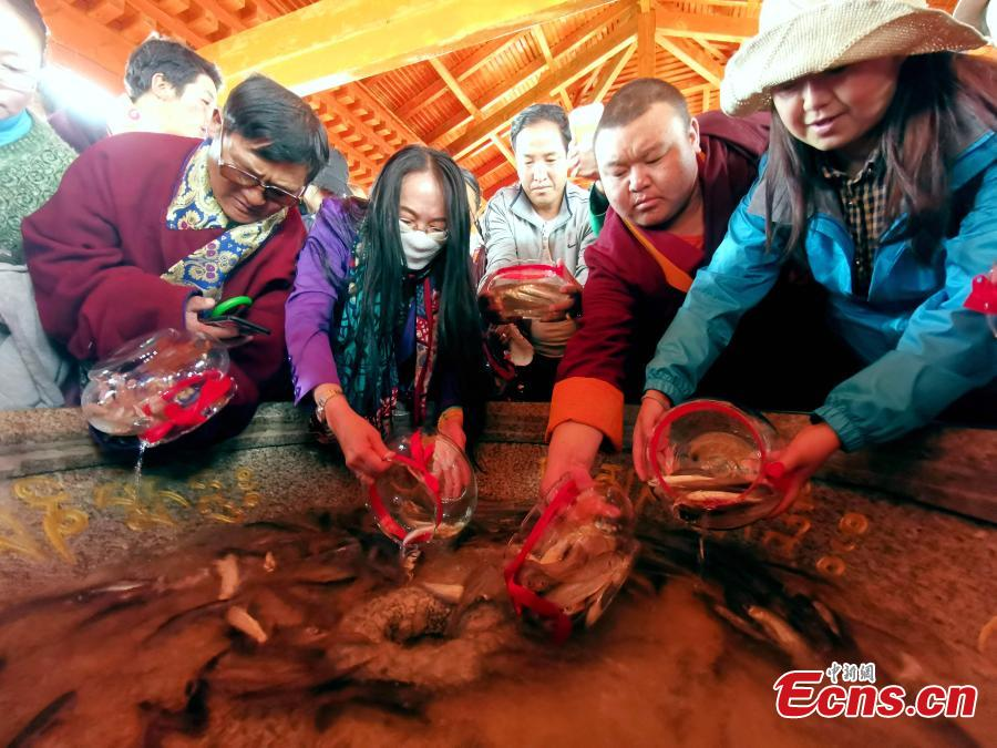 To help replenish fish stocks, Gymnocypris przewalskii, a species of cyprinid, are released into Qinghai Lake in Gangcha County, Northwest China's Qinghai Province, June 11, 2019. Local Tibetans and tourists released one million artificially bred Gymnocypris przewalskii fish fry into the Shaliu River, a main water source of the lake on Tuesday, with 12 million baby fish to be released by the end of August. The fish was listed as a critically endangered species in China in 2004. Since 2002, more than 126 million fish fry have been released into the lake, the largest saltwater lake in China. (Photo: China News Service/Li Juan)
